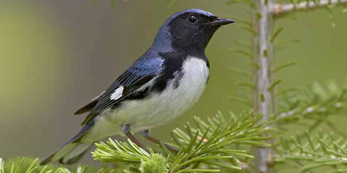 blackthroatedbluewarbler2