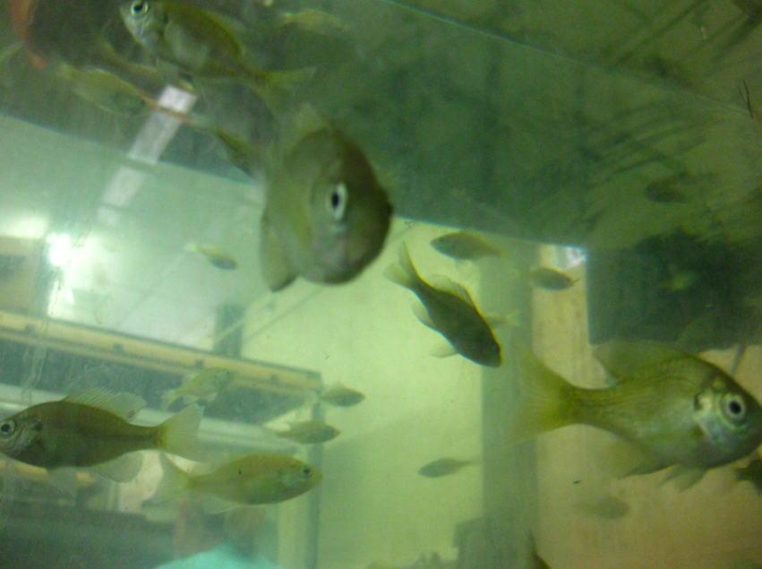 An aquarium filled with young bluegill sunfish. Bluegills are a common type of fish that live in freshwater lakes in the eastern United States.