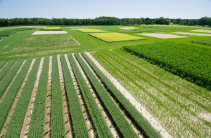 An aerial view of the experiment at MSU where biofuels are grown