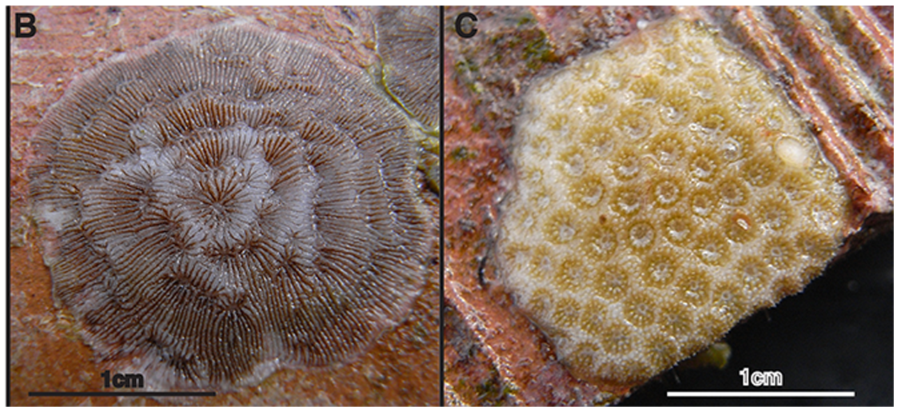 B. Photograph of Agaricia juvenile on experimental substratum. C. Photograph of Porites juvenile on experimental substratum