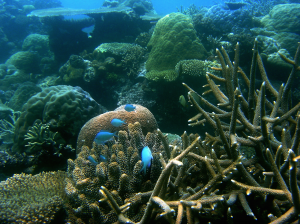 A Pacific coral reef with many corals