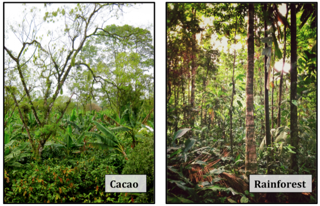 rainforest and cacao plantation