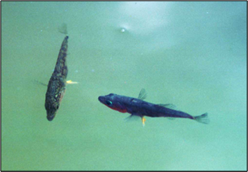 A male (right) defending his territory from another fish (left).
