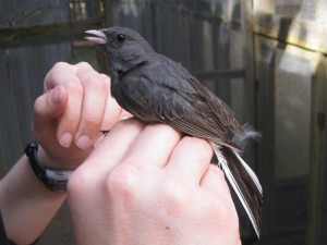 Danielle holding a male junco. Notice the white tail feathers.