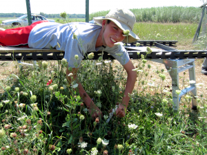 Scientist Shaun collecting phenology data in the climate change experiment. He is recording the date that the first flowers emerge for dame's rocket.