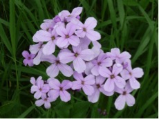 Flowers of Hesperis matronalis (dame's rocket), a species of mustard that was introduced to the U.S. from Eurasia.