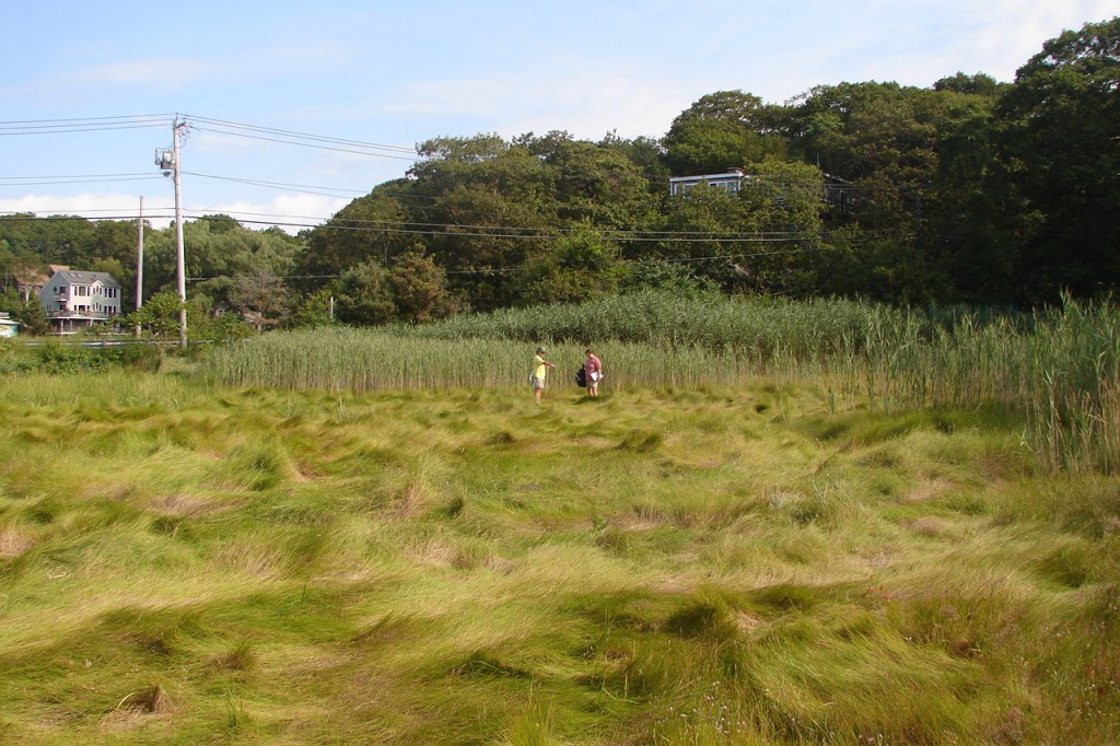 View of Saratoga Creek Salt Marsh several years after restoration, showing location of one of the transects. Native grasses are growing in the foreground.
