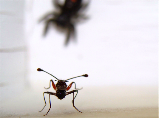 A stalk-eyed fly and spider interacting in the arena.
