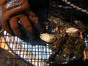 Non-native green crabs caught in trap that has been underwater for 25 hours