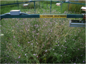 A view of the plants growing in a heated ring. Notice the purple flowers of Centaurea stoebe.