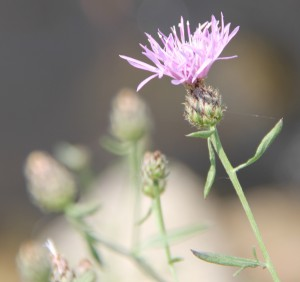 One of the invasive plants found in the experiment, Centaurea stoebe.
