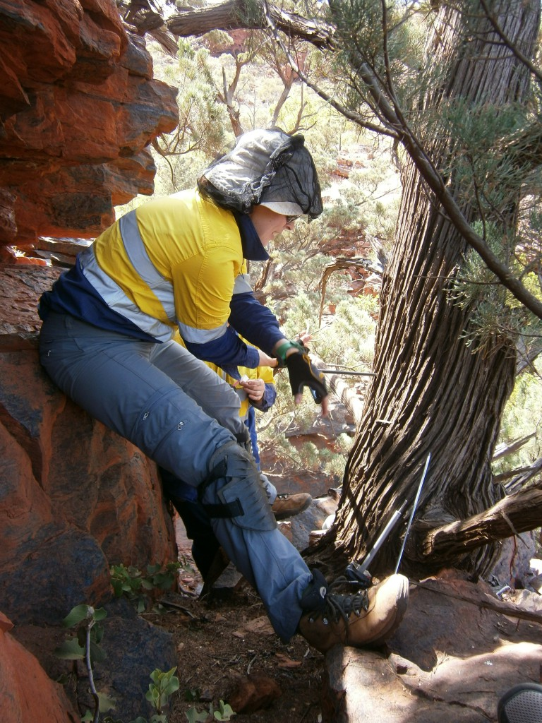 Scientist Alison coring a cypress pine