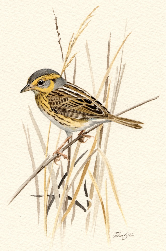 Painting of the saltmarsh sparrow