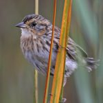 Saltmarsh-Sparrow-104-cr