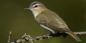 Red-eyed vireo in the Hubbard Brook Experimental Forest