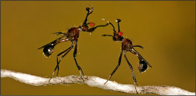 Two stalk-eyed flies rearing/extending forearms in battle. Photo credit: Sam Cotton.