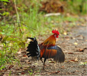 Red Junglefowl are the same species as chickens (Gallus gallus). On Kauai island, they have mated with feral chickens to produce hybrids (photo by Tontantours).