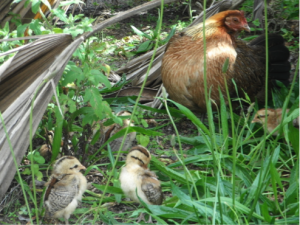 Photograph of a feral hen on Kauai, with her recently hatched chicks (photo by Pamela Willis).