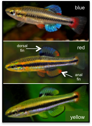 The color polymorphism in bluefin killifish – males display anal fins in blue, red, or yellow. Photos by Tony Terceira.