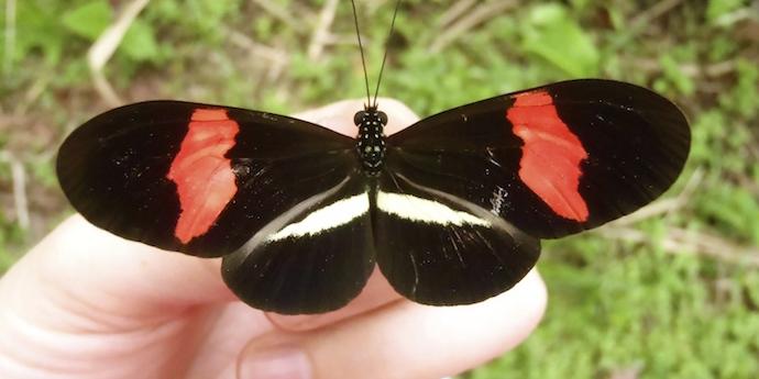 redpostmanbutterfly