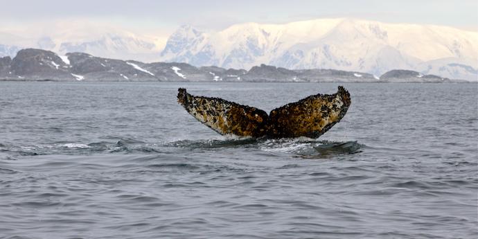 humpback_whale_Palmer